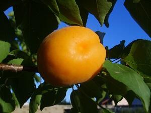 Aprikosen müssen zum Zeitpunkt der Ernte richtig reif sein