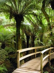 Baumfarn im australischen Regenwald