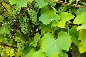 Bei den Tafeltrauben eignen sich viele Sorten auch für den Anbau im heimischen Garten