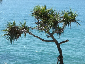 Eine Yucca-Palme in ihrer natürlichen Umgebung