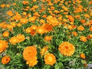 Ringelblumen haben in der Naturheilkunde eine wichtige Bedeutung