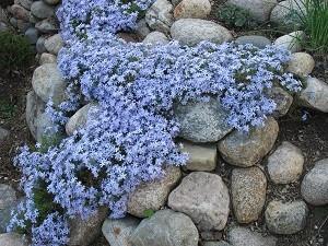 Der Phlox ist eine beliebte Pflanze in Steingärten