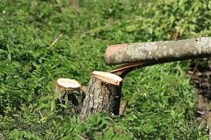 Beim Fällen von Bäumen gilt es einige Vorschriften zu beachten