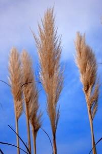 Ziergräser sind in jedem Garten eine Zierde und können in Gruppen oder als Solitär-Pflanze platziert werden