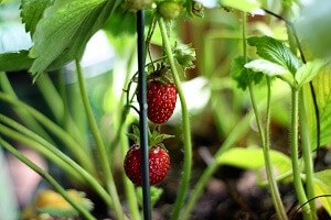 Erdbeeren sind anspruchsvolle und pflegeintensive Pflanzen