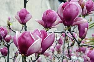 Magnolien vertragen keinen starken Rückschnitt und sind sehr pflegeleicht