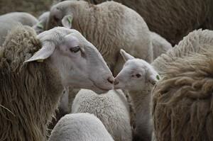 Aus Schafwolle werden Dünger-Pellets für den Garten hergestellt
