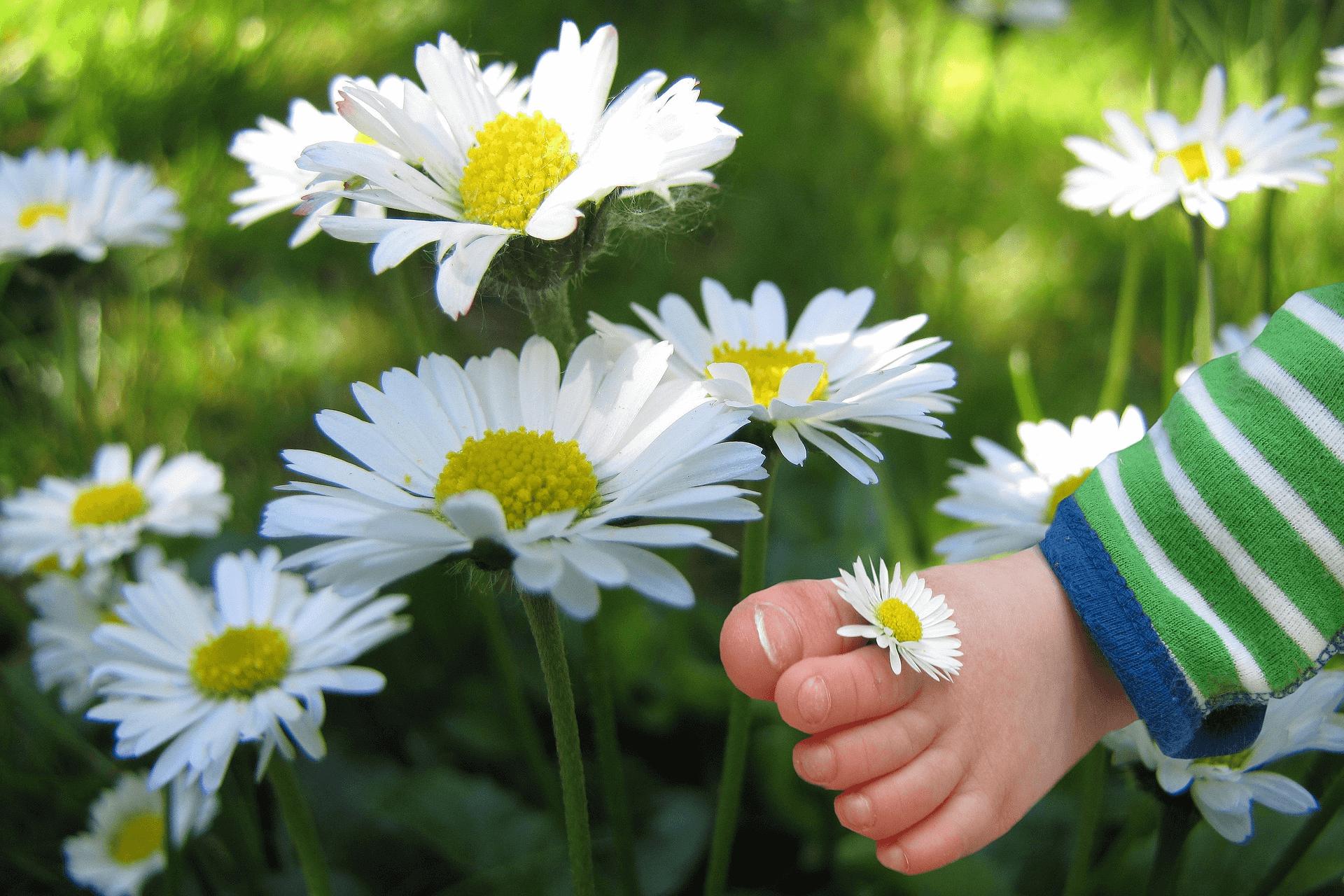 Oldiefan – Gänseblümchen – pixabay.com