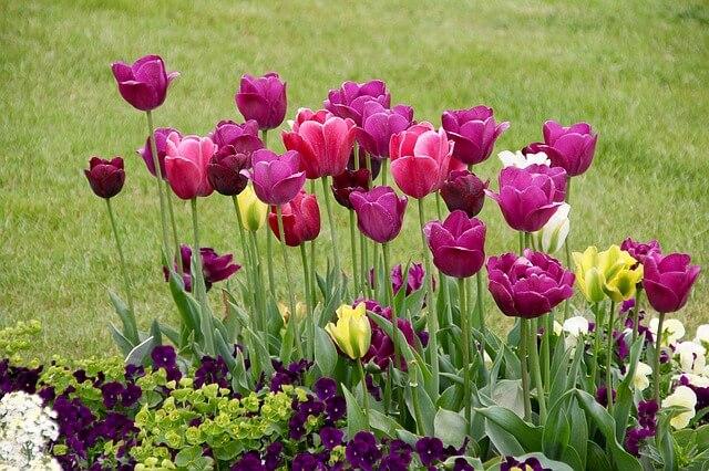 tulpen tipps zum einpflanzen und pflege garten garten tipps f r hobbyg rtner. Black Bedroom Furniture Sets. Home Design Ideas
